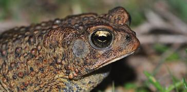 Houston Toad