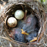 SW Flycatcher Nest SWCA
